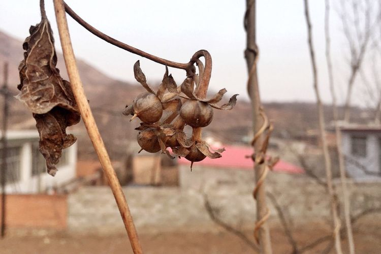 The seeds of morning glory / Qianxi, Hebei Hanging Dry Focus On Foreground Close-up Wilted No People Outdoors Fragility Nature Dried Plant Dried Plant Day Freshness Flower Sky Wilted Plant Home Mobilephotography Hometown IPhoneography Iphone6 EyeEm Best Shots Winter BEIJING北京CHINA中国BEAUTY