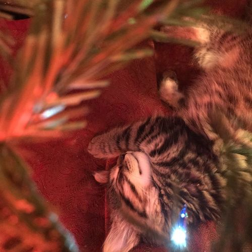 Be. Ready. Animal Themes Mammal One Animal Domestic Cat No People Domestic Animals Close-up Feline Pets Indoors  Day Nature Christmas Tree Christmas Lights Christmastime Kitten Cat Ornaments Cute Cute Pets Catboy
