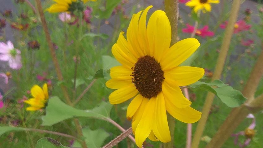 Side Flower Petal Yellow Fragility Flower Head Growth Plant Freshness Beauty In Nature Nature Blossom Pollen Sunflower Springtime Outdoors Day Close-up Blooming Black-eyed Susan Beauty Flowers_collection Nature_collection Multi Colored Stand Alone Beauty Sunflower