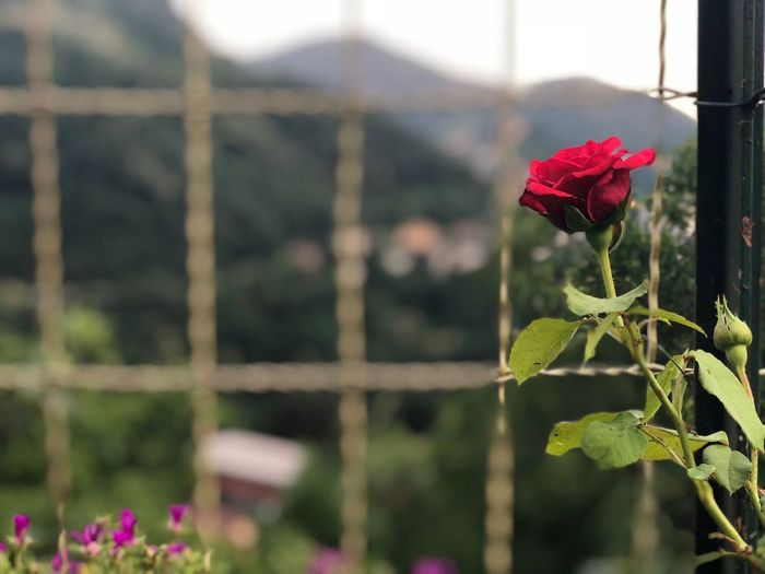 Perdono Rosa Rosé Flowering Plant Flower Plant Freshness Growth Beauty In Nature Focus On Foreground Red Nature Petal The Great Outdoors - 2018 EyeEm Awards