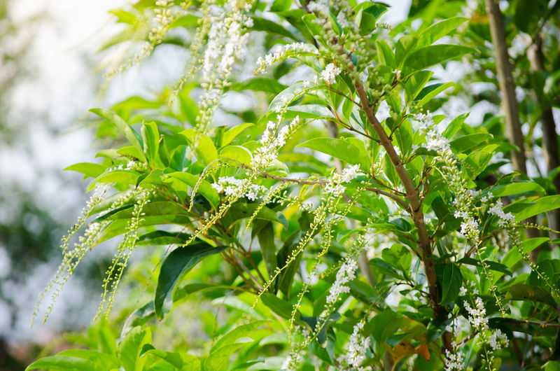 Beautiful white Citharexylum Spinosum flower on its branches in a spring season at a botanical garden. Citharexylum Spinosum Beauty In Nature Botanical Close-up Day Flower Freshness Garden Green Color Growth Leaf Nature Outdoors Plant White