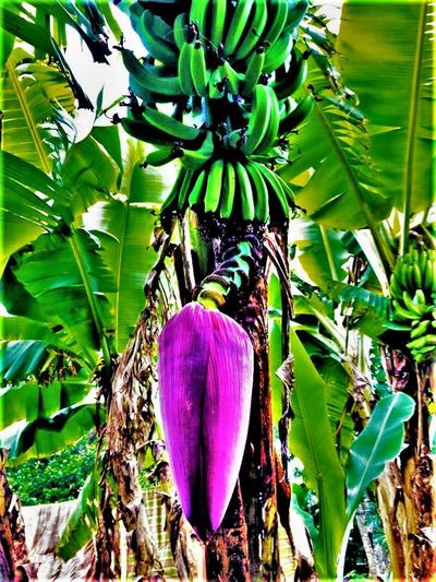 Agriculture Banana Tree Beauty In Nature Day Food Food And Drink Food Stories Freshness Fruit Green Color Growth Hanging Healthy Eating Leaf Nature No People Outdoors Plant Tree Vegetable