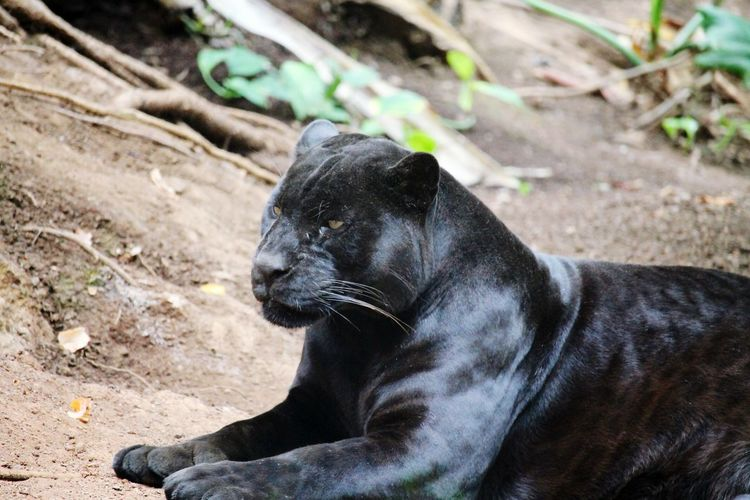 Panther Connected With Nature Nature Photography Animal