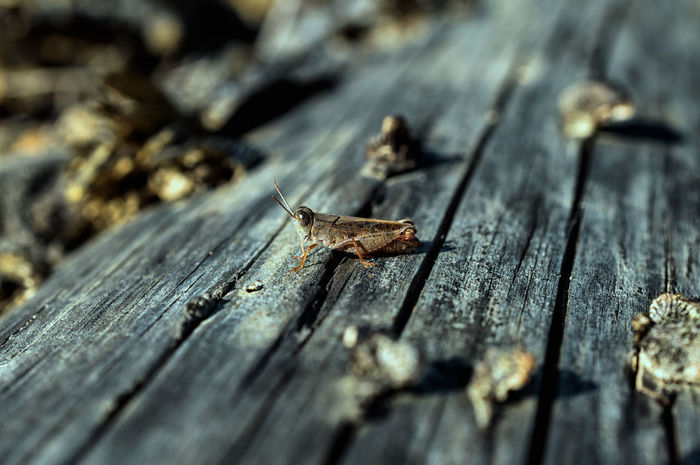 Animal Damaged Deterioration Grasshopper Insect No People Obsolete Old Outdoors Plank Selective Focus Spring Summer Surface Level Weathered Wood - Material Wooden