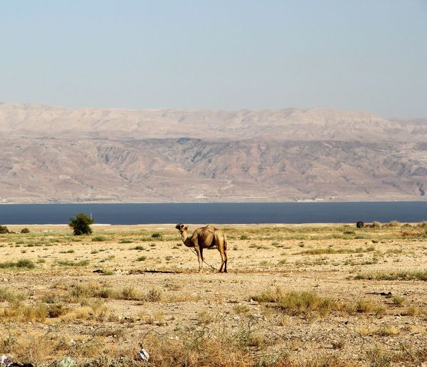 Camel on deserted landscape by lake and mountains