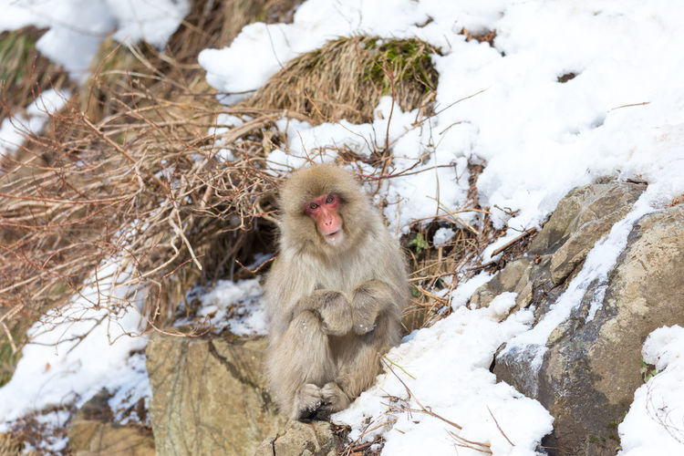 Japanese snow monkey Snow Monkey Japanese Macaque Monkey Jigokudani-Snow-Monkey-Park Cold Temperature Animal Themes Snow Animal Winter Animal Wildlife Primate Animals In The Wild Mammal Vertebrate Day One Animal No People Nature Rock Rock - Object Outdoors