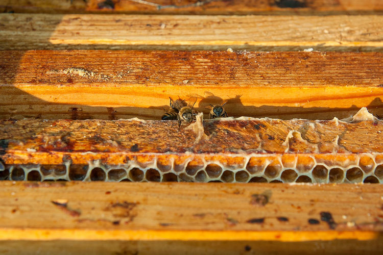 Animal Animal Themes Animal Wildlife Animals In The Wild APIculture Beauty In Nature Bee Beehive Close-up Day Honey Bee Honeycomb Insect Invertebrate Mammal Nature No People One Animal Wood - Material