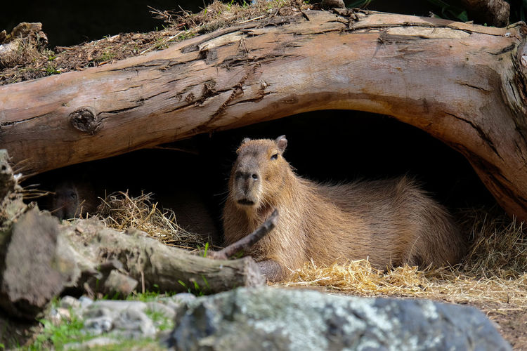 Capybara under a tree trunk
