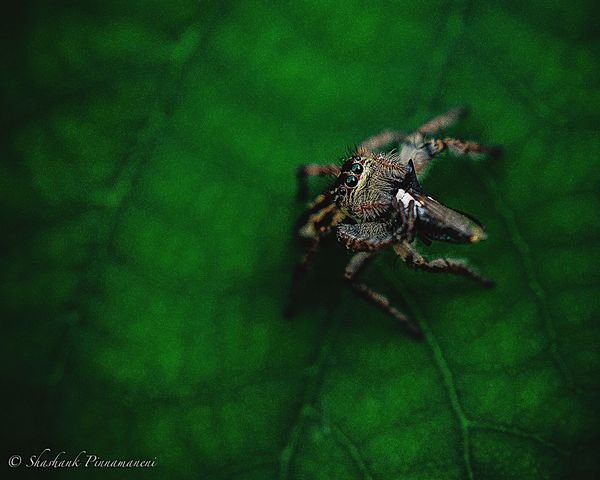 On duty🍛 Animal Themes Animals In The Wild Insect One Animal Wildlife Close-up Focus On Foreground Plant Nature Zoology Green Color Arthropod Day Green No People Beauty In Nature Spider Beauty In Nature Animals In The Wild Macro Photography Macro_collection Macro Selective Focus Photography Hunting