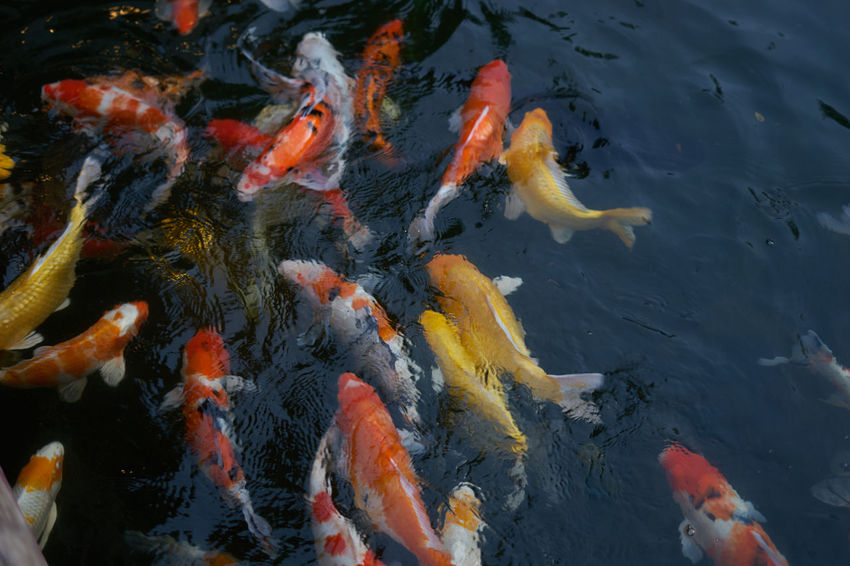 Fish in the bond Animal Themes Animals In The Wild Carp Close-up Day Fish High Angle View Koi Carp Large Group Of Animals Multi Colored Nature No People Outdoors School Of Fish Sea Life Swimming Water