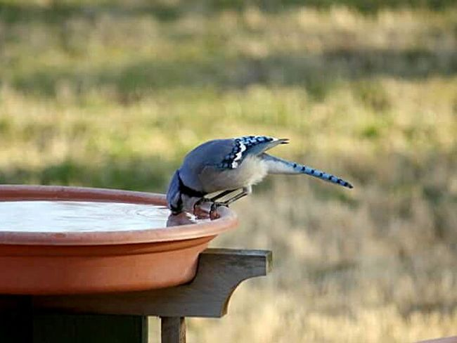 Blue Jay Birdbath Nature Ornithology  Backyard Birder Kansas United States Birds Birdwatching