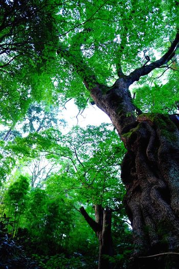 EyeEm Nature Lover Camphor Tree EyeEm Best Shots - Nature Spirituality EyeEmNewHere EyeEm Best Shots Plant Tree Growth Green Color Branch No People Nature