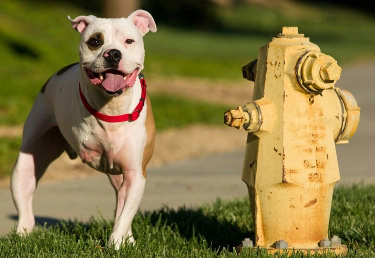 Portrait of handicapped dog by fire hydrant on field