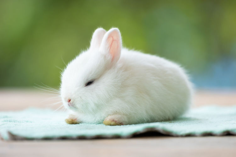 Cute white baby rabbit sitting on cloth. friendship with cute easter bunny.