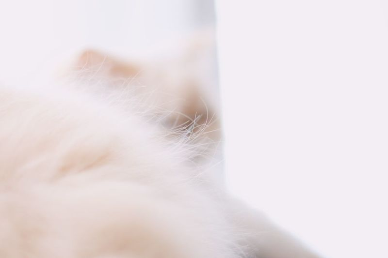 Hair White Color Softness Close-up Indoors  Domestic Animal Hair Mammal One Animal Fluffy Pets No People Domestic Animals Body Part Animal Body Part Nature Hairstyle Innocence