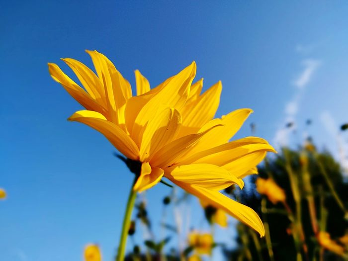 Una tarde de fin de verano! Yellow Flower Freshness Flower Head Beauty In Nature Blue Close-up Single Flower Vibrant Color Blooming Cloud Fragility Low Angle View Nature First Eyeem Photo