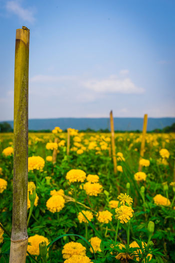 Flower Yellow Plant Growth Beauty In Nature Sky Field Flowering Plant Nature Landscape Land Scenics - Nature No People Freshness Day Agriculture Tranquility Focus On Foreground Environment Crop  Outdoors Wooden Post Lopburi Thailand