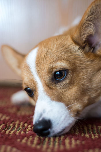 Close-up portrait of dog resting at home