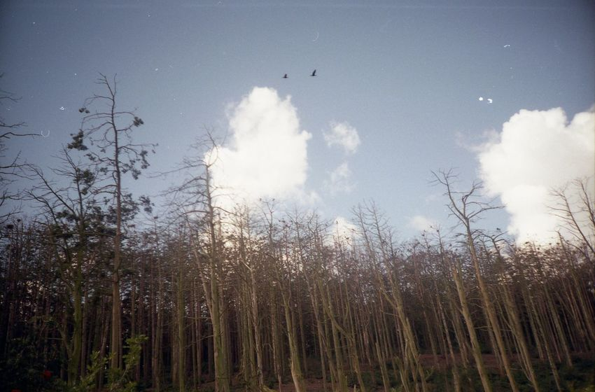 The colony of Kormoran birds Bird Colony Day Kormoran Lomo Lomography Nature Neringa No People Sky Tranquility Tree