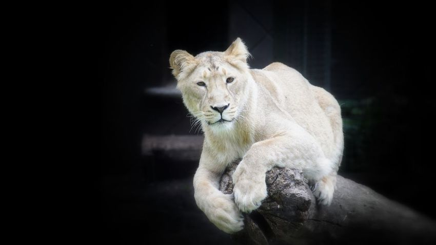 Female Lion Animals Animal Animal Photography Looking to You Special For You ;-) From My Point Of View Summer ☀ Peace And Quiet Eyemphotography Colour Sony NEX Colours Eyem Gallery Lonely Color Enjoying Life Zoo Zoo Animals  Closeup Close Up