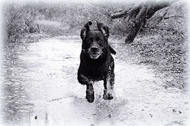 Mr Solly Dog Rescuedog Dog Running Blackandwhite Animal Photography Cute Pets Pet Photography  Labrador Puddleography Puddle