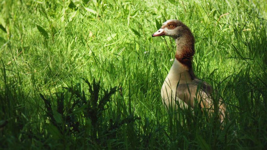 Duck on field