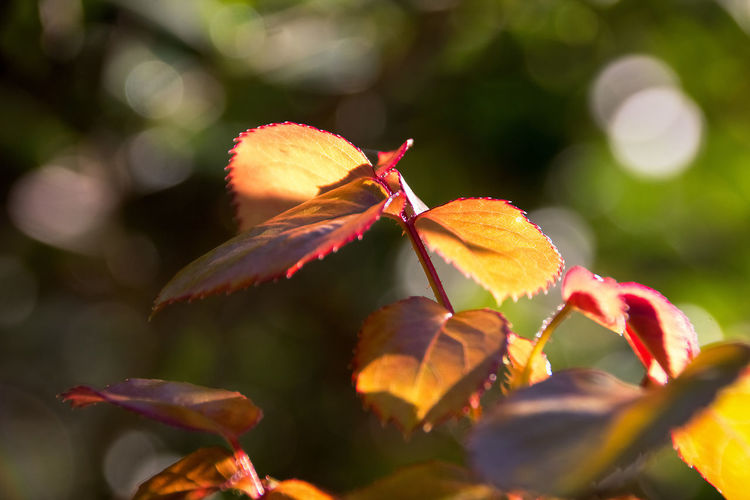 Light on Leaves Autumn Beauty In Nature Close-up Day Fragility Growth Leaf Light And Shadow Nature No People Orange Color Orange Leaves Outdoors