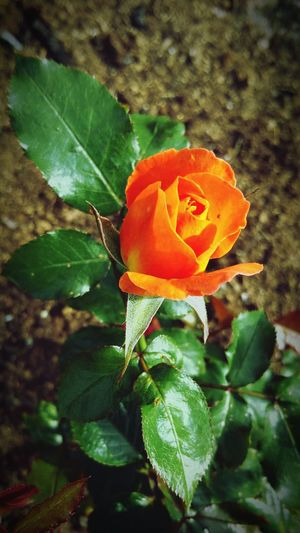 "Beautiful ""apricot""-rose... :-D From My Point Of View Love To Take Photos ❤ Check This Out Eye For Photography Eyem Best Shot - My World MADE IN SWEDEN Editorialphotographer Eyem Best Shot My Zoom Up No Edit No Fun Gothenburg Eyeem Popular Photos Made By Me Wonders Of The World Taking Photos Apricot Rose Rose - Flower Roses_collection Roses, Flowers, Nature, Garden, Bouquet, Love,"