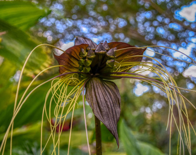 Deerfield Beach Arboretum Sepal Inflorescence Flower Head Low Angle View Tree Day Outdoors Green Color Nature No People Vulnerability  Freshness Fragility Focus On Foreground Beauty In Nature Close-up Flowering Plant Growth Flower Plant Bat Plant Tacca Chantrieri