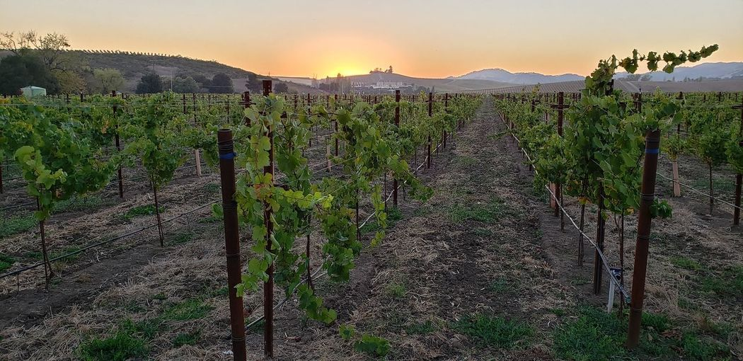Grape Vines Beautiful Countryside Tree Rural Scene Sunset Agriculture Vine - Plant Hill Field Backgrounds Vineyard Plantation Vine Winemaking Cultivated Cultivated Land