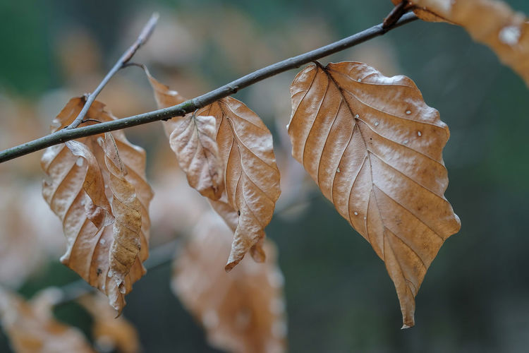 Close-Up Of Dry Leaves On Tree Branches