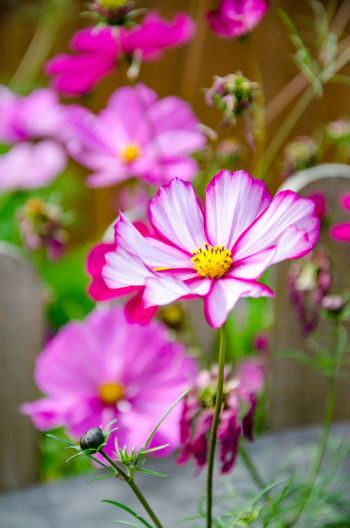 Cosmos Beauty In Nature Close-up Cosmos Bipinnatus Day Flower Flower Head Flowering Plant Focus On Foreground Fragility Freshness Growth Inflorescence Nature No People Outdoors Petal Pink Color Plant Pollen Selective Focus Vulnerability