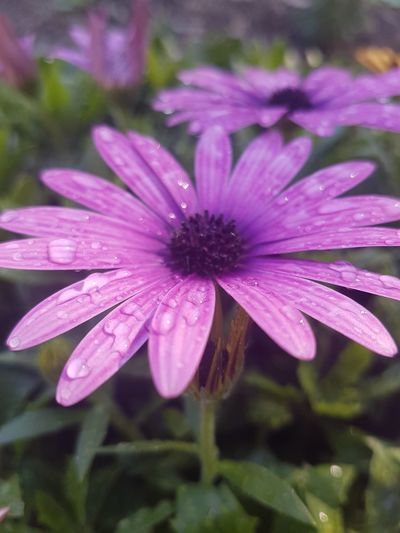 After the morning rain. Flower Plant Pink Color Nature Purple No People Water Fragility Flower Head Close-up Outdoors Beauty In Nature Day Freshness Autumn African Daisy Osteopernum African Daisies Petal Drop Nature Wet Blooming Pretty Springtime