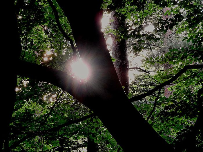Light In The Forest Sunbeam Lens Flare Sun Sunlight Low Angle View Tree Outdoors Nature Growth Day Beauty In Nature Forest Branch No People