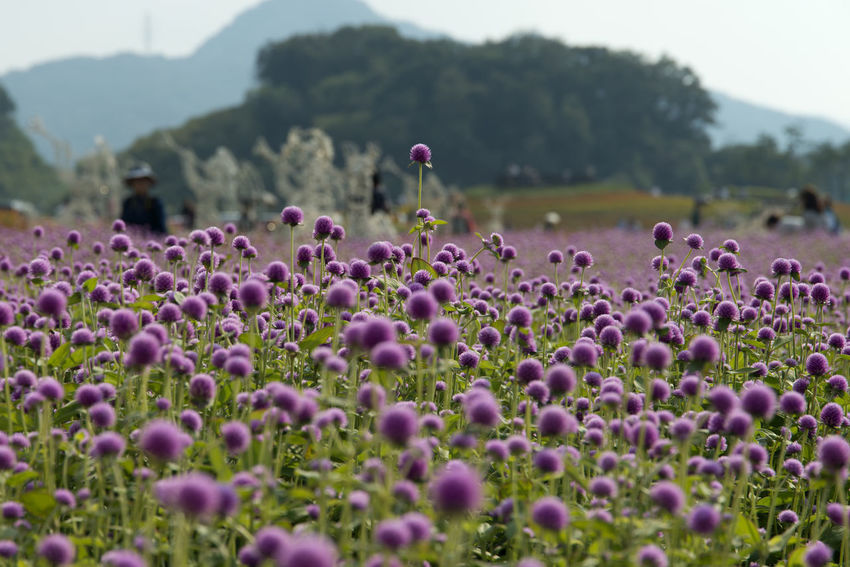 festival of globe amaranth flower with bellvedere at Nari Park in Yangju, Gyeonggido, South Korea Globe Amaranth Flower Beauty In Nature Blooming Close-up Day Field Flower Flower Head Fragility Freshness Globe Amaranth Growth Nature No People Outdoors Plant Purple Tranquility