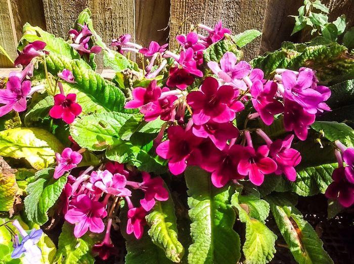 Flower Cape Violetta From My Garden