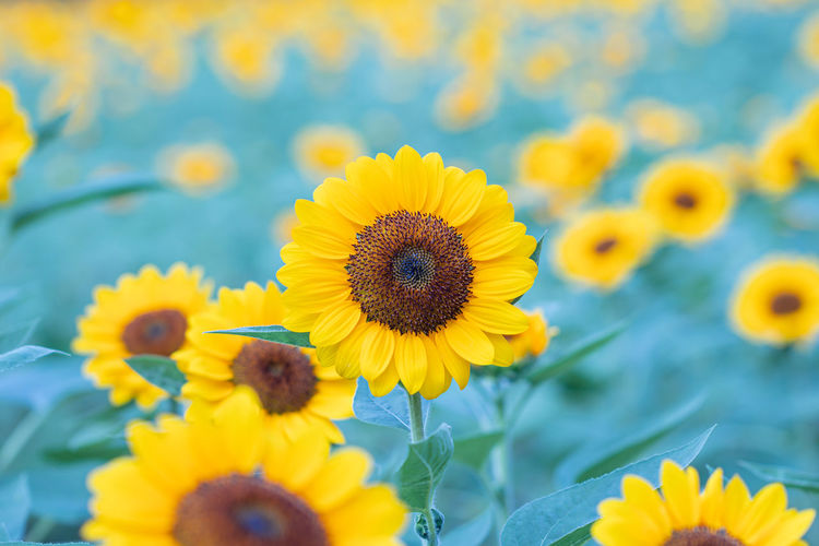 Close-up of sunflowers on yellow flowering plant
