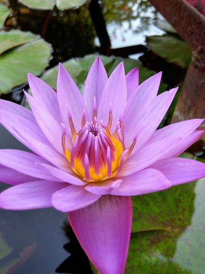 Lotus Water Lily Floating On Water Blooming Growth Flower Fragility Petal Nature Close-up Water Lily Lotus Pollen EyeEmNewHere