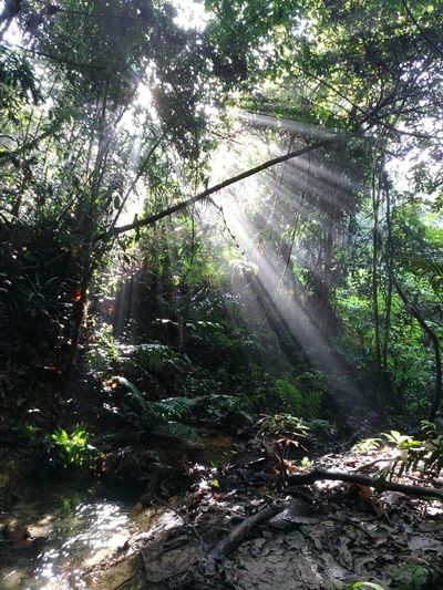 Malaysia Forest Tranquility Trekking Beauty In Nature Forest Nature Outdoors Scenics Sun Rays Through Trees Sunbeam Tranquility