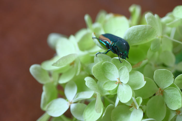 Hydrangea flowers with large beetle Nature Day Flower Insect Invertebrate Green Color Plant Close-up No People Copy Space Shield Bug Beetle Entomology Natural Light Nobody Indoors  Metallic Color Textures Petals Pale Green Studio Shot Botanical Gardening