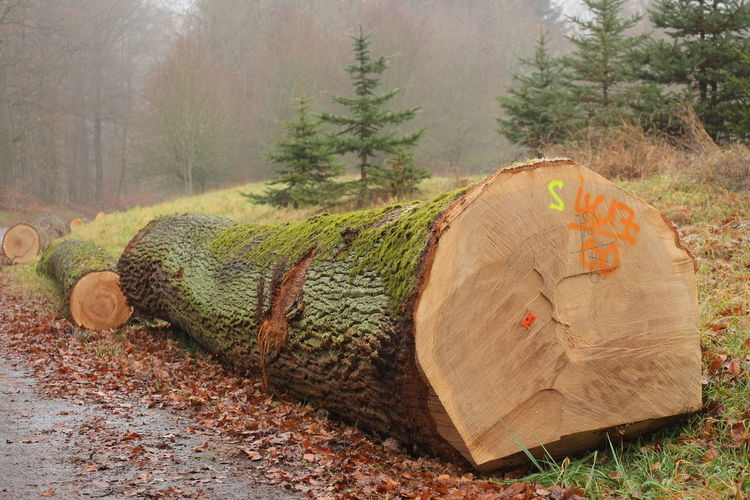 Big Oak Tree Forestry Tree Trunks Forest Photography Forest Road Fresh Timber No People Oak Timbers Outdoors Timber Harvesting Timber Sales Tree