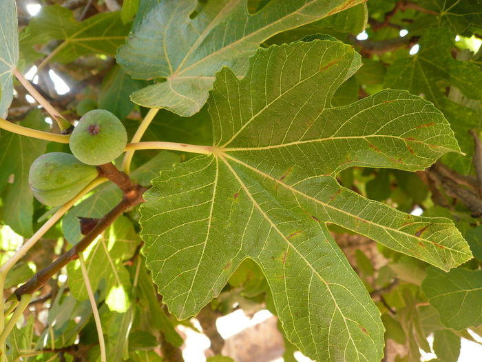 laxative fruit Figue Fig Fig Leave Healthy Eating Healthy Fruit Healthy Fruits Laxatives Sweet Fruit