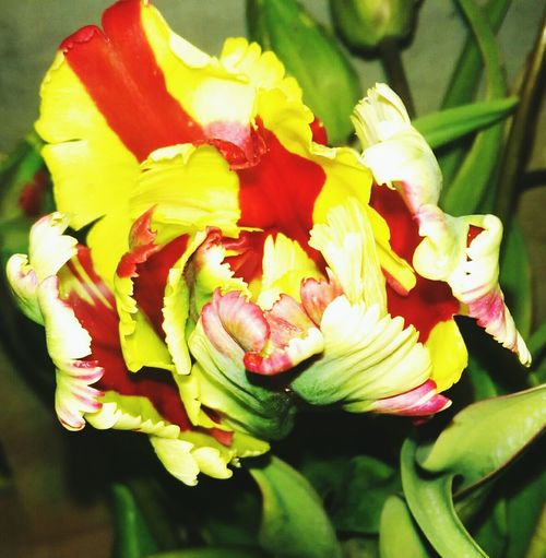 Meine schönen blumen Flower Nature Beauty In Nature No People Day Red Yellow Redyellow Tulips🌷 Foto Fotography Plant