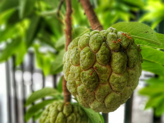 Close-Up Of Fresh Green Custard Apple