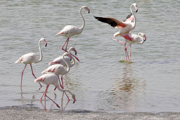 Group of flamingos in the lake Abu Dhabi Abudhabi Al Wathba Animal Animal Neck Animal Themes Animal Wildlife Animals In The Wild Beach Beauty In Nature Bird Day Flamingo Flock Of Birds Group Of Animals Lake Nature No People Pink Color Reflection Uae,abudhabi Vertebrate Wading Water Waterfront