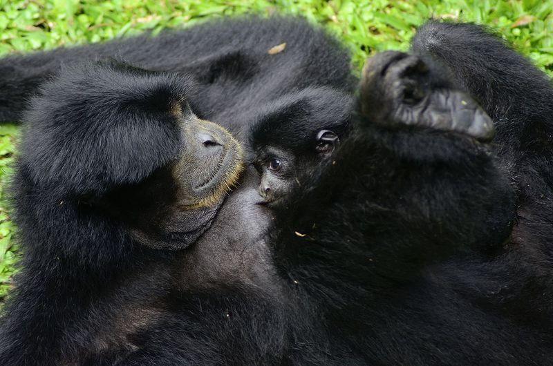 View of gorilla
