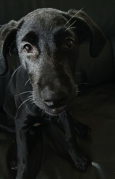 Dogs Of EyeEm Doglover Doggie Doggie Love Puppies Puppy Puppy Love Black Labrador Black Lab Labrador Retriever Dogslife Dog Dogoftheday Puppies! PuppyLove Puppy❤ Puppy Love ❤ Puppy Face Puppydog Puppy Eyes Puppyeyes Puppy Dog Face Puppylife PuppyFace Dog Love