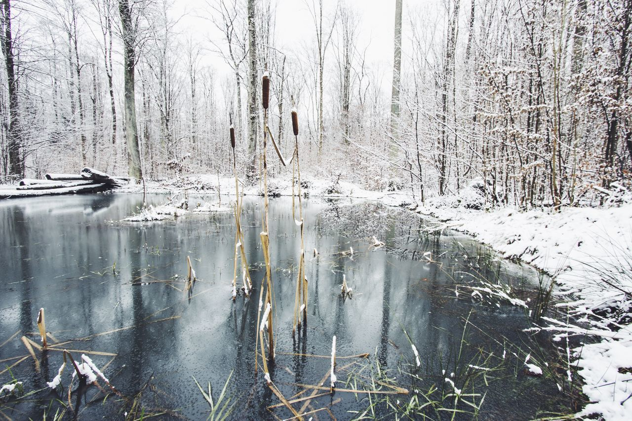 Cattail plants on frozen lake during winter