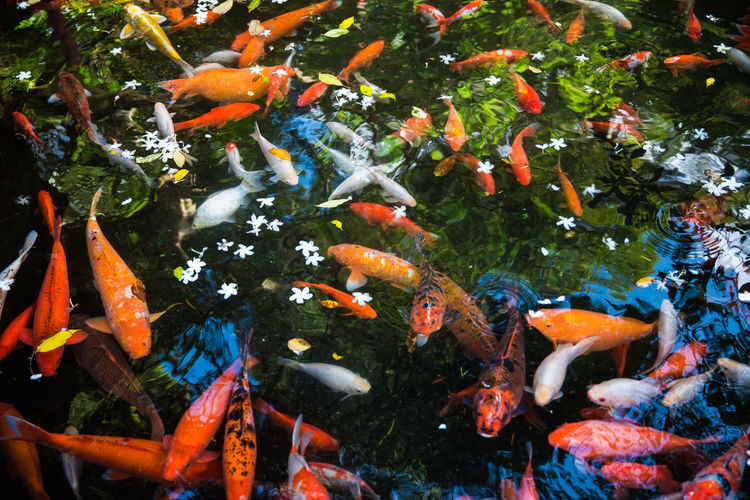 High angle view of koi fish swimming in pond