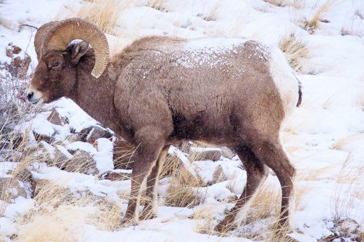 It's cold out here! Yellowstone National Park Winter Wonderland Beauty In Nature Big Horn Sheep EyeEm Selects No People Backgrounds Close-up Day Mammal Leopard Outdoors Animal Themes